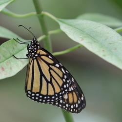 Monarchvlinder 2.0
