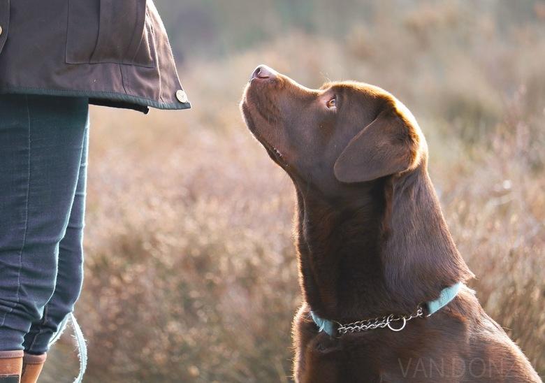 Labrador - Focus op de baas. <br />