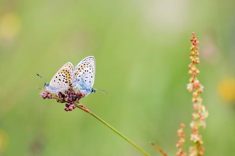 Rugdekking - Op zoek naar zonnedauw stond ik ineens op een veld vol blauwtjes! Wat een feest!