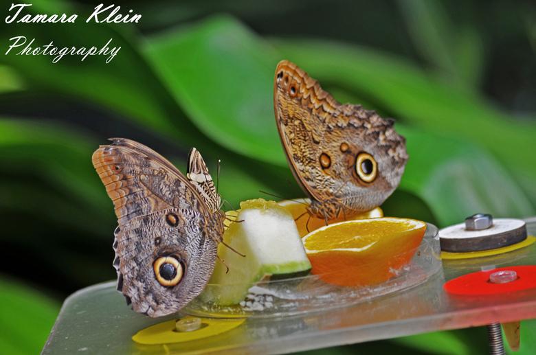 Dierentuin Artis - 2 Vlinders van dierentuin Artis.