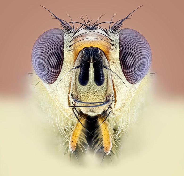Het Portret van een StrondVlieg - Het Portret van een strondvlieg toen ik deze voor de lens had stond ik er echt van tekijken watvoor details dit bees