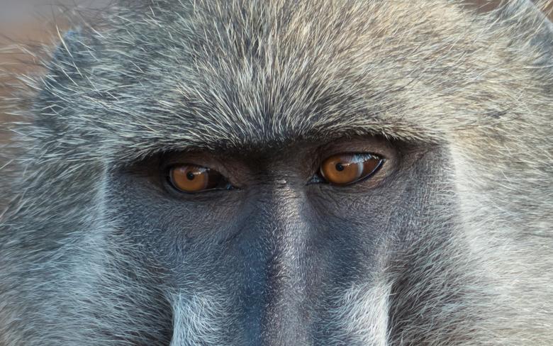 Oog in oog met een baviaan.  - In het Kruger park zat deze baviaan lekker dichtbij voor een close-up.