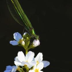Weidebeek juffer vrouwtje