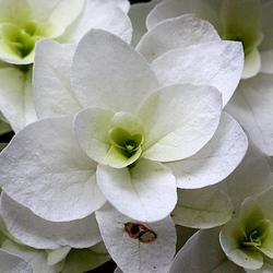 Eikenbladhortensia