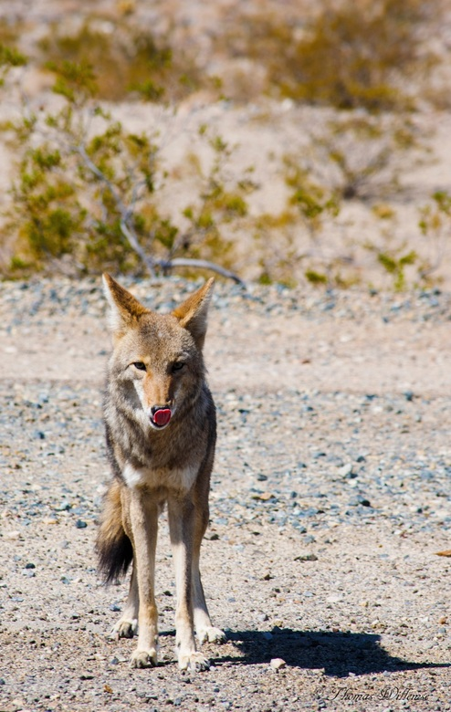 Coyote in Death Vally