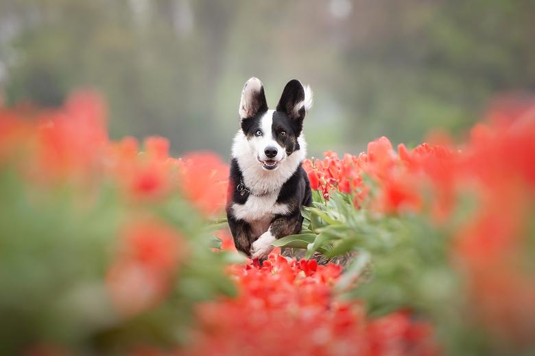 Tulpen... - Deze kanjer vandaag gefotografeerd tussen de tulpen.<br /> Het is het vriendje van mijn favoriete model Amy. Uiteraard heb ik ook nog een