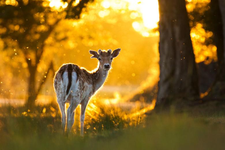 Damhert in het laatste licht - damhert in het regenlicht tijdens zonsondergang.
