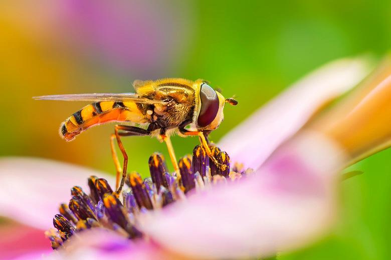 Zweefvlieg op een Spaanse Margriet -