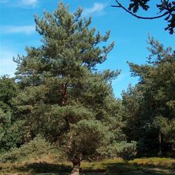 Leuvenummer bos, Nederland, 2006