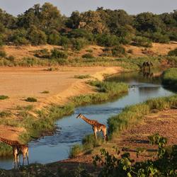 Giraffen bij de rivier