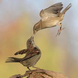 Huismussen in gevecht