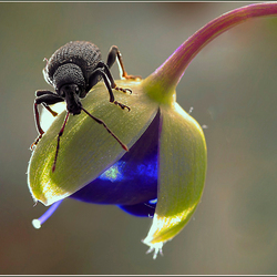 Taxus snuitkevertje ?
