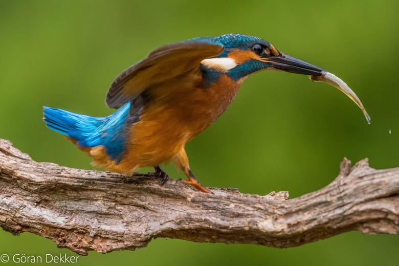 IJsvogel - IJsvogel aan de wandel met een stekelbaarsje