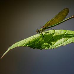 Beekjuffer (Calopterygidae)