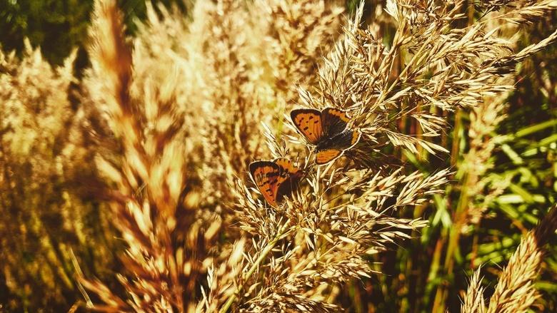 Vlinder -