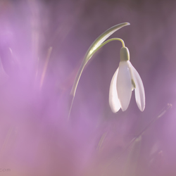 Lilac cloud
