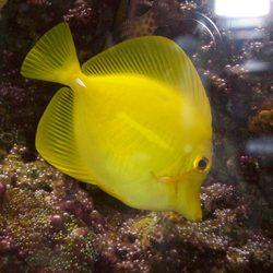 gele vis