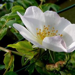 wilde roos