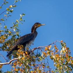 Aalscholver hoog in een berkenboom