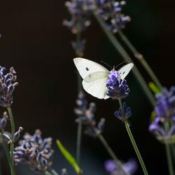 Doorschijnend wit in het paars