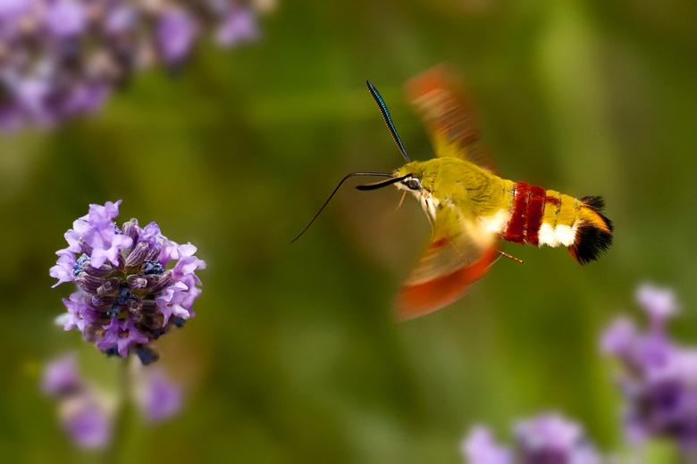 Kolibrievlinder op zoek naar honing - Deze foto is in Frankrijk gemaakt, tussen de lavendel vlogen deze mooie beestjes rond.