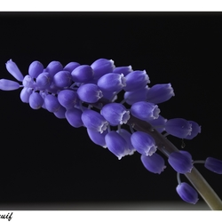 Blauwe druif 3