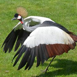 Grus Grus (Kraanvogel)