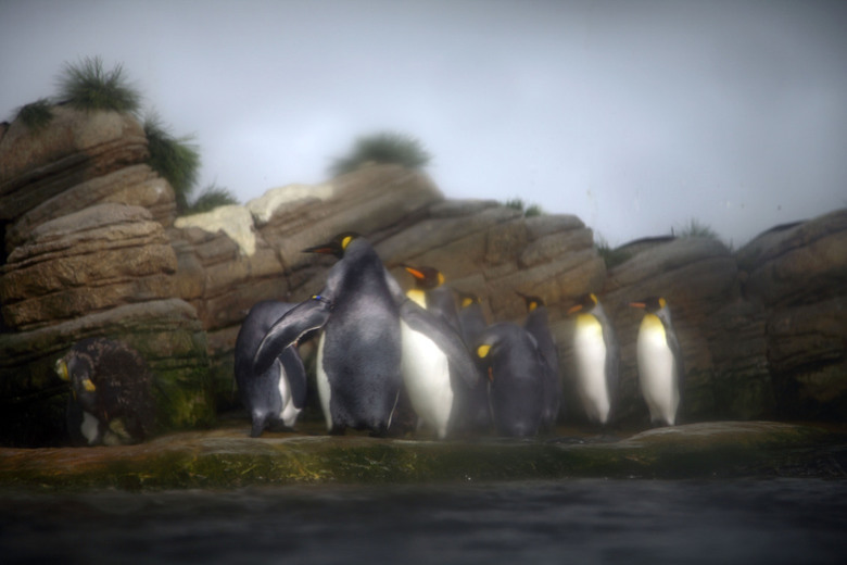 pinguins -