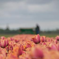 Laatste Tulpen