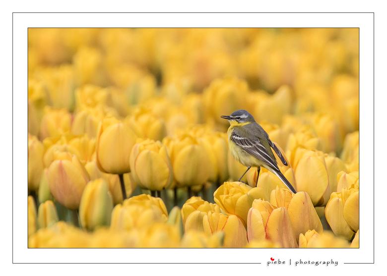 Gele kwikstraat op gele tulp - Vanmiddag weer even met mijn zwager naar de NOP (Noord Oost Polder) geweest. Deze gele kwikstaart komt wel heel mooi ui