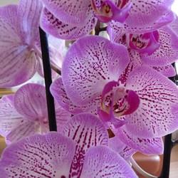 P1360799 PINK RIBBON nr13  Orchidee tak Close okt 2015