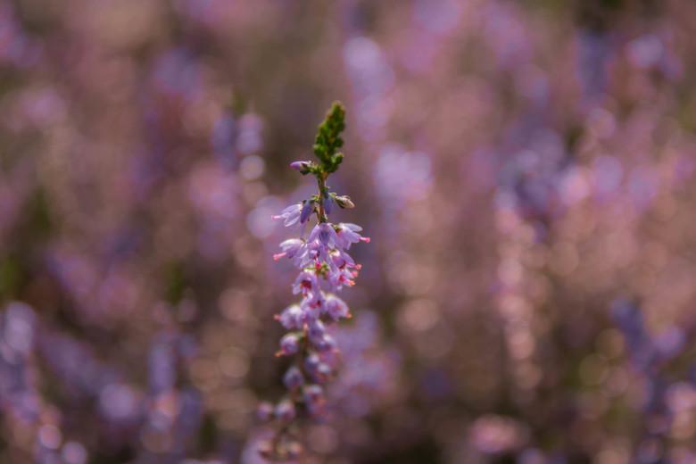 Purple Bokeh - Tijdens de mooie bloei van de paarse heide, de veluwe bezocht. Hier een aantal mooie foto´s kunnen maken!