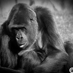 Gorilla in zwart-wit