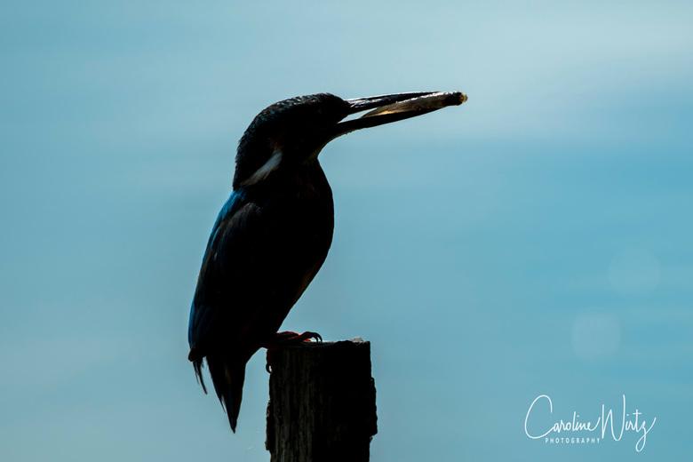 IJsvogel silhouet