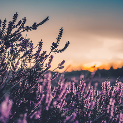 Zonsondergang achter de paarse heide