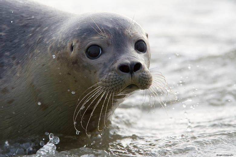 Just released - Dit zeehondje is zojuist vanuit Pieterburen weer vrijgelaten in de Waddenzee.