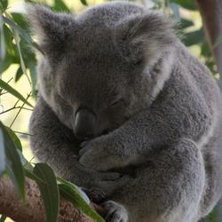Koala in zen