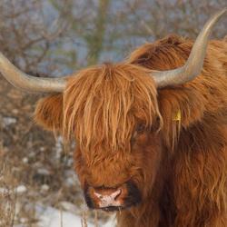 Schotse hooglander bij Lentevreugd