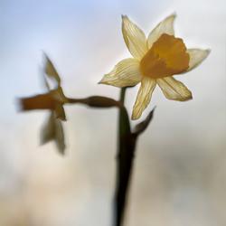 Delicate yellow