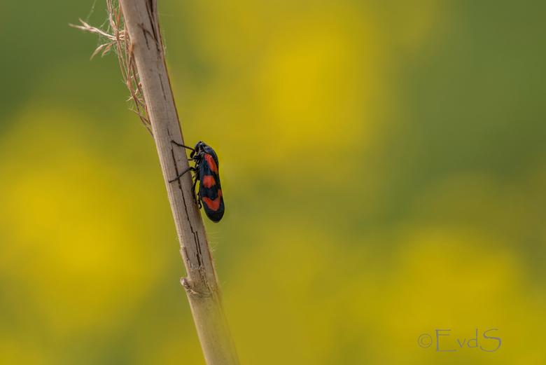 Bloedcicade met lentekriebels - Een Bloedcicade tegen een achtergrond van Koolzaad. Prachtig toch? Heerlijk lentegevoel.