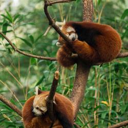 Lieve rode panda's