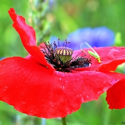 Just a Poppy!