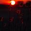 riet bij zonsondergang