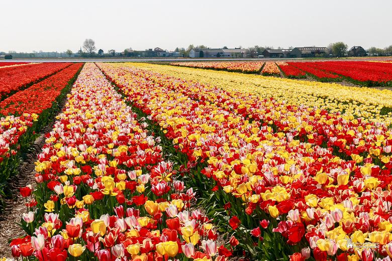Bloembollenvelden - Kleurrijke tulpenvelden in de bollenstreek bij Voorhout.
