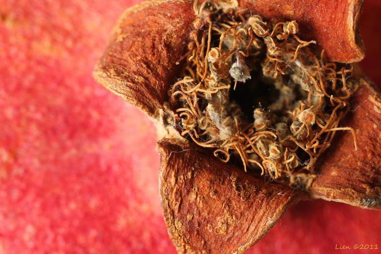 granaatappel I - detail granaatappel