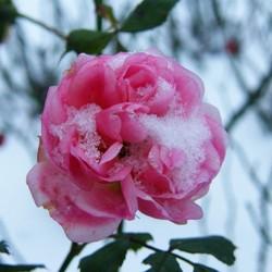 Bloeiende Roos Januari 2014