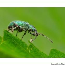 De groene snuitkever (Phyllobius argentatus)