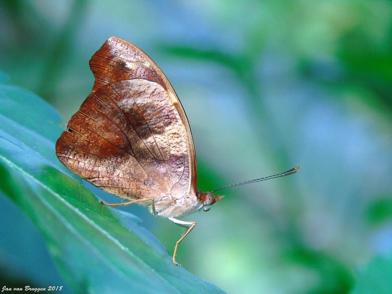 Catonephele numilia (vrouwtje) - Soms komt het bij vlindersoorten voor dat het mannetje niet op het vrouwtje lijkt. De Catonephele numilia is daar een