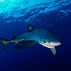 Oog in oog met een blauwe haai