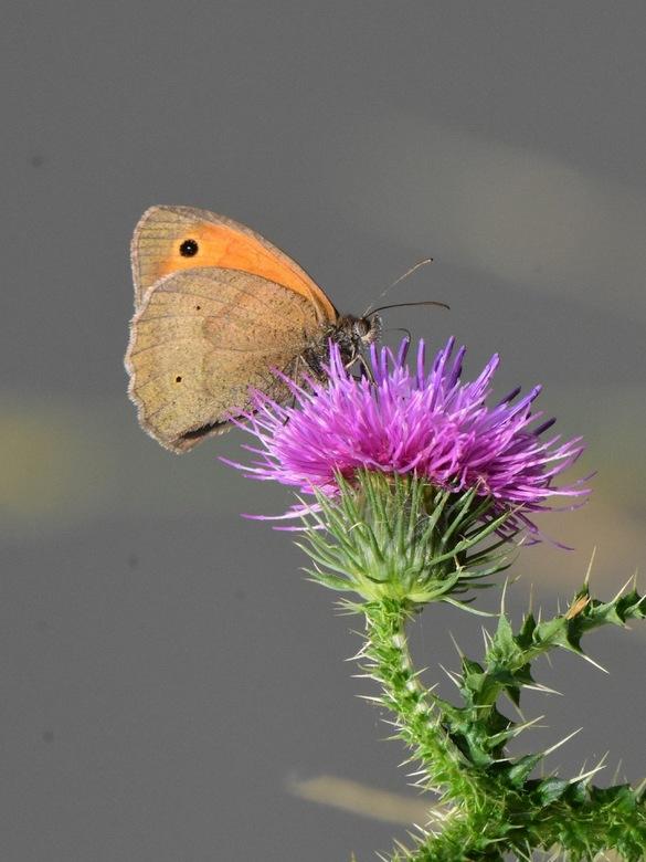 Hooibeestje op distel - Hooibeestje is een klein vlindertje uit de familie zandoogjes